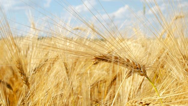 푸른 하늘에 대 한 보리 필드입니다. 황금 보리의 귀, 클로즈업. 밀밭. 밝은 햇빛에 시골 풍경입니다. 밀밭과 햇빛의 귀 숙성의 배경. 밀 수확 준비입니다.