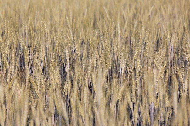 Barley field background.