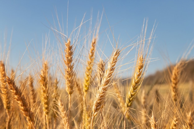 Barley in the field with sunny day. beautiful nature and fresh air.