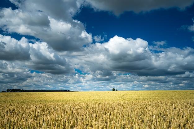 Barley grain field under the sky full of clouds