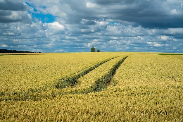 Поле зерна ячменя под небом, полным облаков