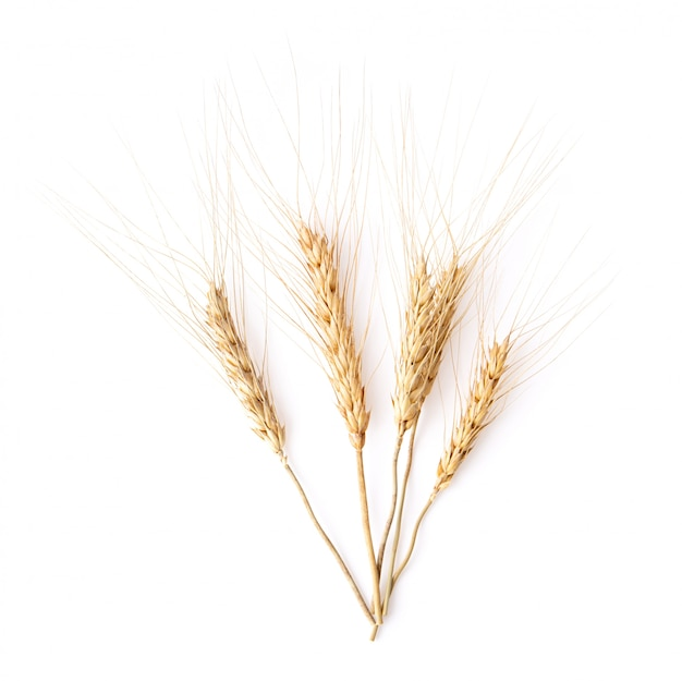 Barley grains isolated on white