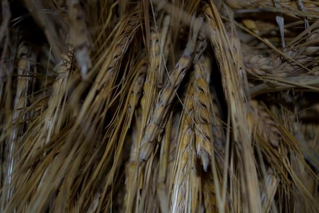 Barley in the stem a bunch of barley