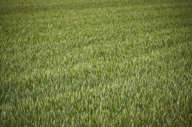 Текстура ячменя в поле для его выращивания в состоянии роста еще преждевременная.