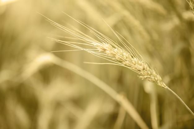 Barley wheat field nature background