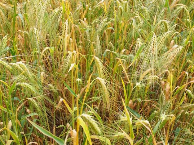 Barleycorn field background