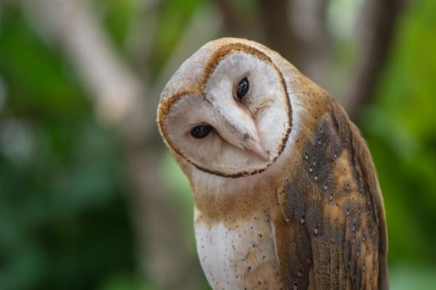 Barn owl acting doubt