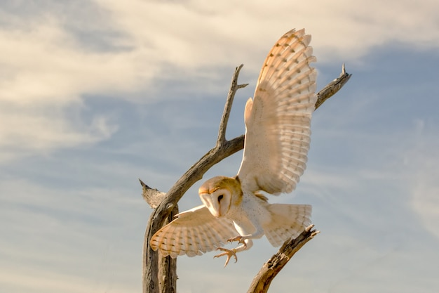 Barn owl in flight coming in for a landing