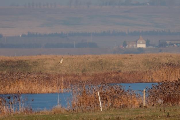 겨울 오후에 elmley marshes에서 사냥하는 헛간 올빼미