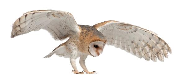 メンフクロウ、tyto alba、生後4か月、白いスペースに向かって飛んでいる