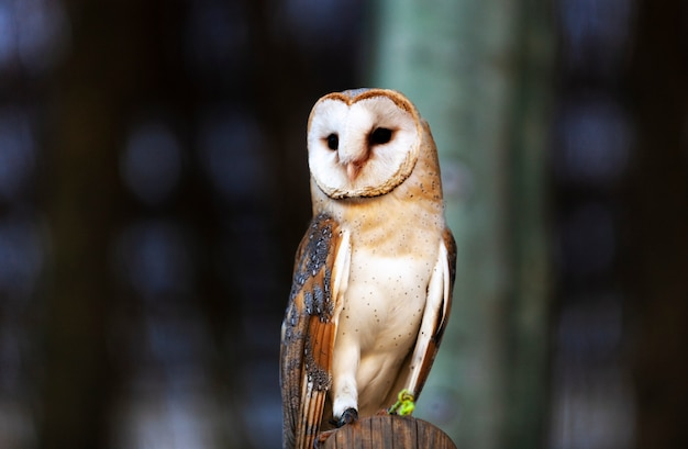 Barn owl tyto alba perched on a tree stump.