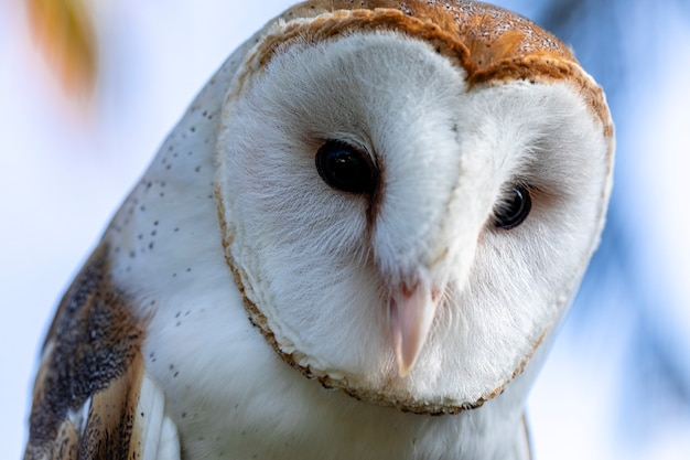 Barn owls are one of the two families of owls, the other being the true owls or typical owls