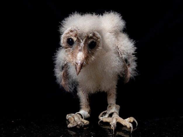 Barn owls (family tytonidae) are one of the two families of owls, the other being the true owls or typical owls, strigidae..