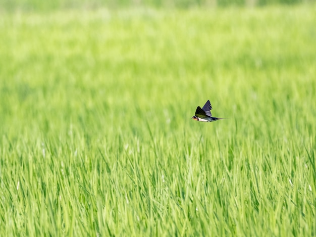 Barn swallow flying over green rice field