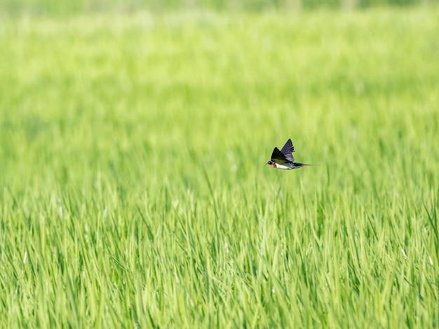 緑の田んぼの上を飛んでいるツバメ