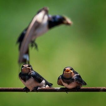 Ласточка-сарай hirundo rustica кормит своего птенца в полете