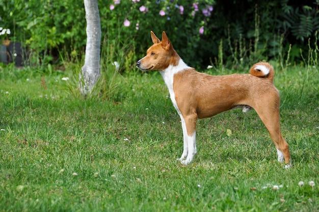 緑の芝生に注意を向けて立っているバセニ