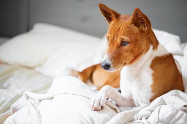 Basenji dog in bed