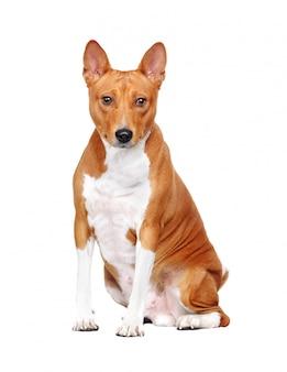 Басенджи собака в позе сидя