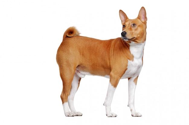 Басенджи собака в белом, оглядываясь назад, в области копирования пространства