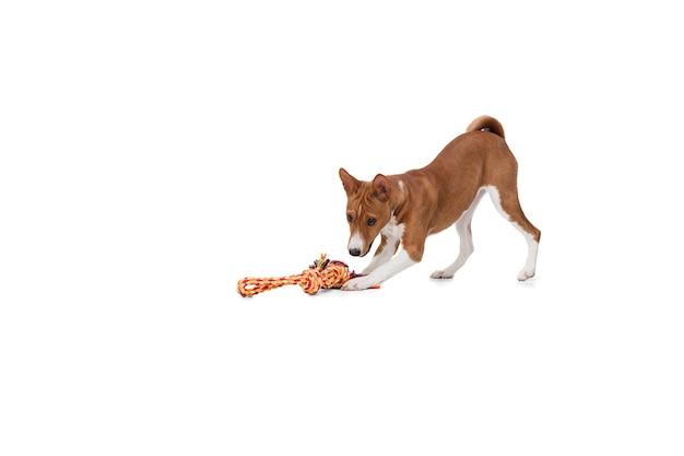 白で隔離のバセンジー犬