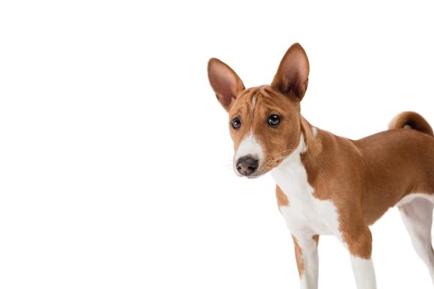 Собака басенджи, изолированные на белом фоне