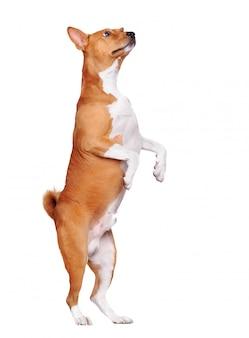 Басенджи собака стоит на задних лапах, глядя вверх, изолированные на белом