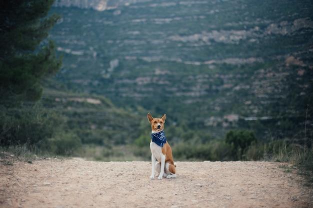公園を散歩するバセンジー犬。夏の晴れた日