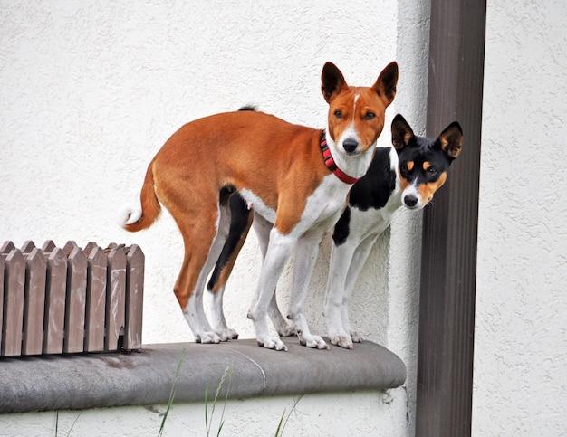 バセンジー犬のカップルの赤と黄褐色の色