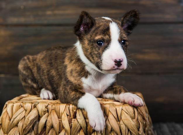 木製の壁のバスケットのバセンジーの子犬犬
