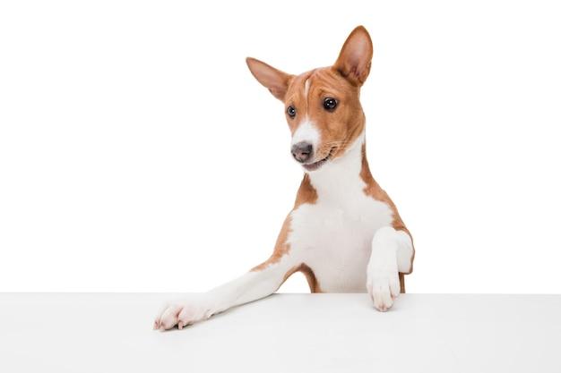 Молодая собака басенджи позирует. симпатичная игривая коричневая белая собачка или домашнее животное, играющая на белом фоне студии. понятие движения, действия, движения, любви домашних животных. смотрится в восторге, смешно. copyspace для рекламы.