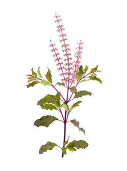 Basil flower isolated on white background