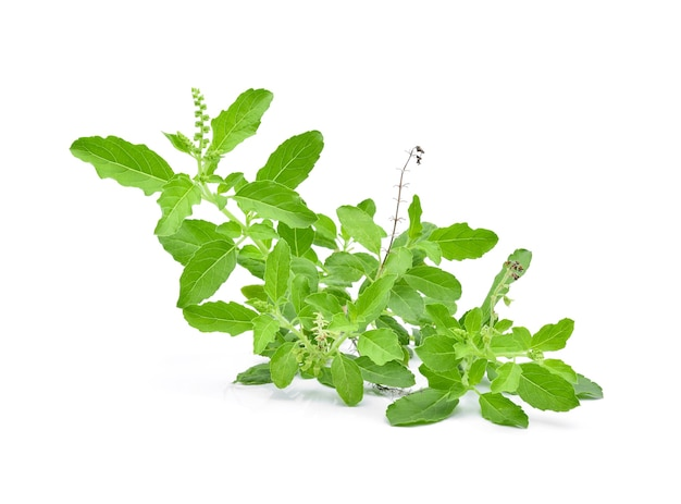 Basil flower, stalk and leaves on a white.