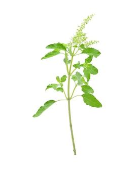 Basil flower on a white background