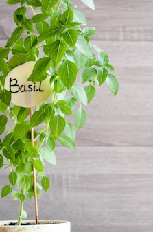 Basil growing in a pot. sign with the inscription basil