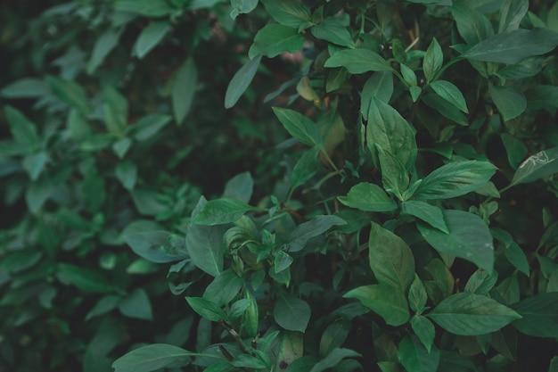 Basil leaf on a dark tone background