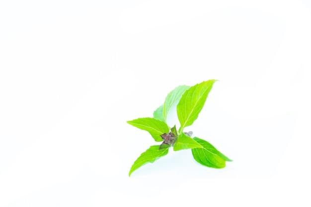 白い背景のバジルの葉。緑の葉。ハーブの葉。健康のためのハーブ。白い背景のバジルアジアン。緑のバジル。
