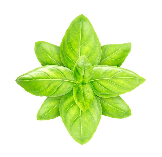 Basil leaves isolated on white