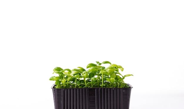 텍스트를 위한 공간이 있는 흰색 배경에 돋아난 쟁반에 있는 바질 마이크로그린. 집에서 씨앗 발아. 채식주의 및 건강 식품 개념입니다.
