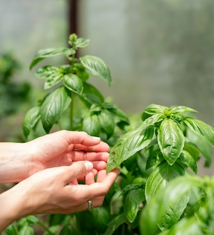 Basil plant in the garden or greenhouse. woman hands picking fresh basil in the greenhouse