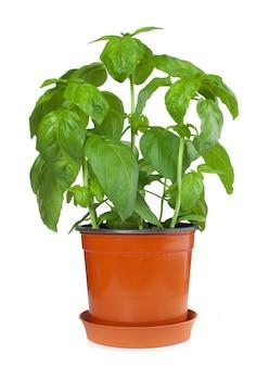 バジル植物の鍋