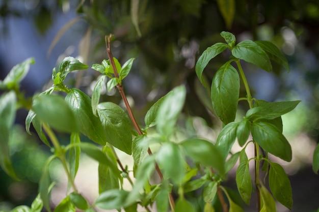 バジル植物:伝統的なイタリア料理などで料理に使用するための植物...