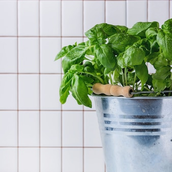 Basil in pot