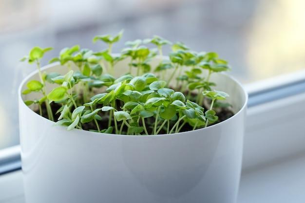 냄비에 바질 새싹, 창틀, 창턱 정원 가꾸기