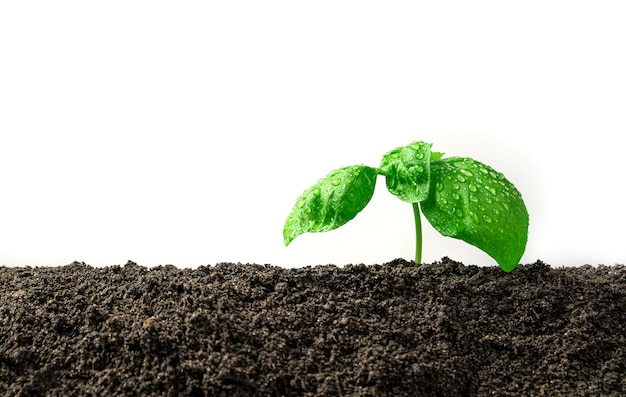 Basil sprout in the soil on a white background. side view with copy space.