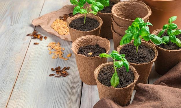 Ростки и семена базилика в чашках на светлом столе