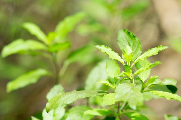 Basil,sweet basil,ocimum tenuiflorum,thai basil.