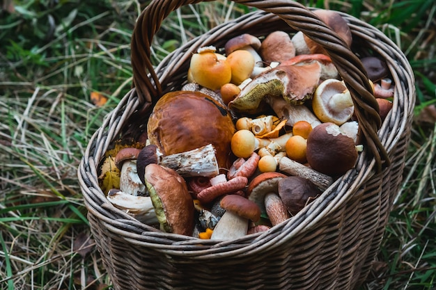 Basket of edible mushrooms in the forest in autumn