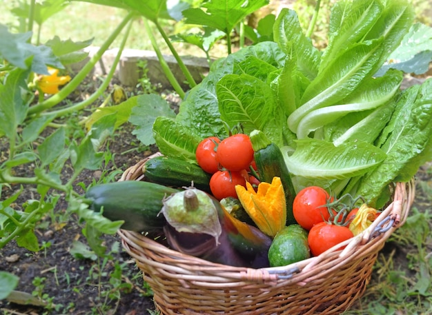 Basket filled with freshly and colorful seasonal vegetables in garden
