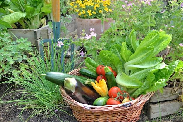 Basket filled with freshly picked seasonal vegetables in the garden with gardening tools